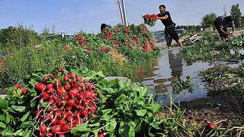 هیچ مزرعه ای در البرز عمداً با فاضلاب آبیاری نمی گردد