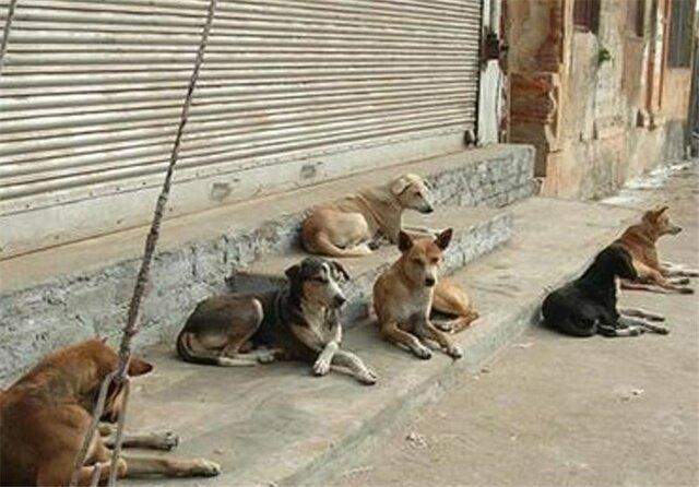 سگهای ولگرد تهدیدی جدی برای امنیت جانی ورامینی ها