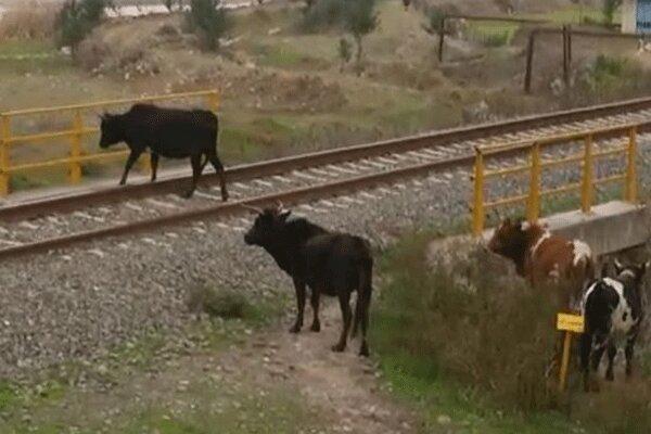 خسارت سنگین راه آهن به دامداران بلوکات رودبار