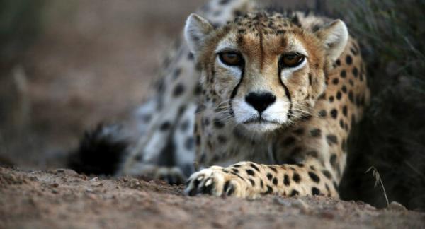 یوزپلنگ ایرانی در اسارت آینده ای دارد؟