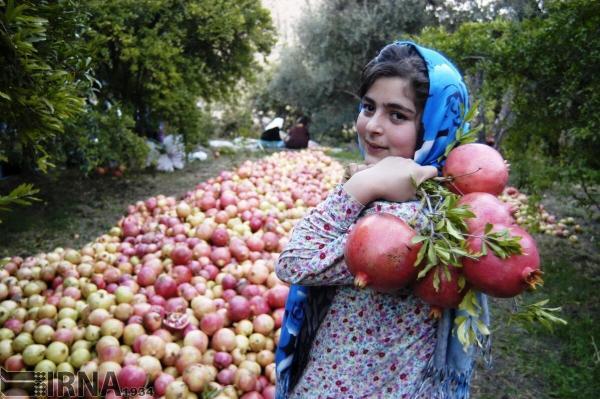 شهرهایی که قطب تولید انار در ایران هستند؛ یک انار و این همه خاطرخواه!